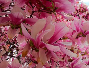 Boston magnolia trees in bloom